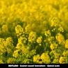 RENTABIO - Couvert annuel Interculture - spécial azote