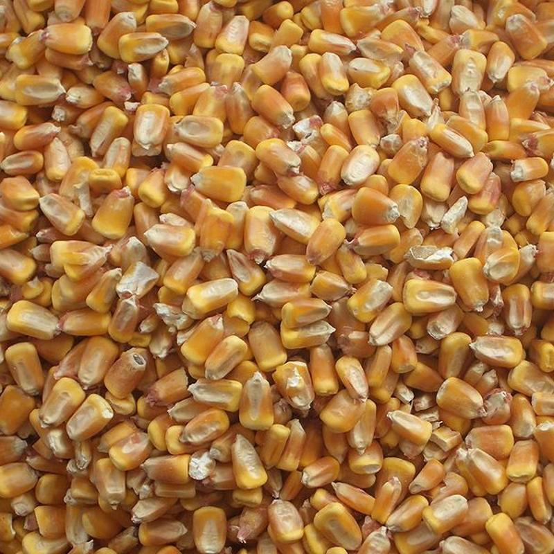 Maïs en grains Bio