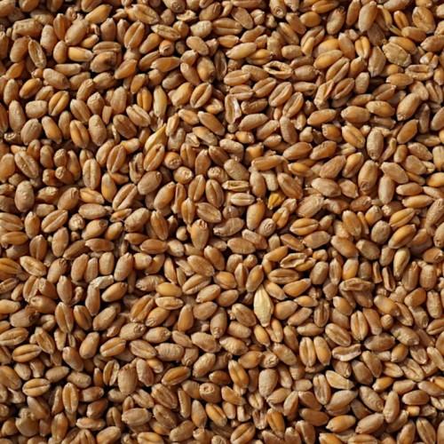 BLÉ FOURRAGER en grains Bio - Origine C.E.E